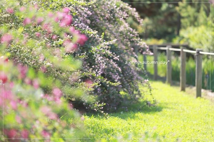 """マメ科ハギ属の落葉低木の総称。東アジアに広く分布し、日本では、秋の七草のひとつとして親しまれています。 """"をみなへし秋萩しのぎさを鹿の露別け鳴かむ高円の野ぞ""""(大伴家持)。万葉集では、最も多く読まれている花だそう。"""