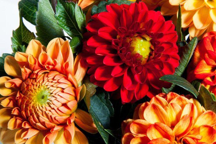 キク科ダリア属の多年生草本植物の総称。高地メキシコ原産で、同国の国花です。18世紀にスペインへ渡った際、マドリッド王立植物園の園長だったカニバレス神父が、スウェーデンの植物学者Anders Dahl(アンデシュ・ダール)にちなんで名付けました。