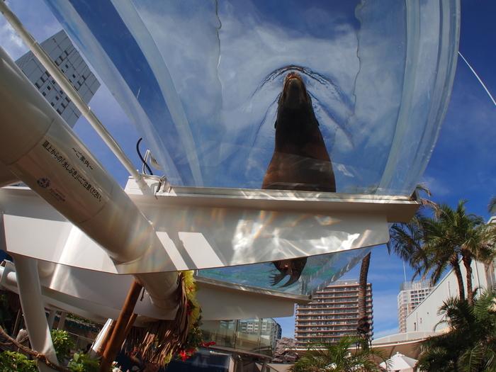 また、同じく屋外エリアに設置された「サンシャインアクアリング」も大人気の場所。高さ2mの場所に設置されたドーナツ型水槽の中を、アシカたちが伸び伸びと泳ぎ回っている様子が見えます。こんな角度から見られるのは、とっても貴重ですよ!