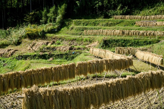 秋になると稲刈りが行われ、棚田の景色は趣を変えます。美しい曲線を描いた緑の畦、水が無くなった田んぼに干された藁が見事に融和し、初夏とはまた異なる風情を醸し出しています。