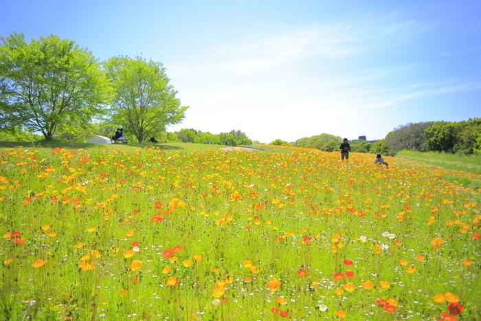 丘一面のポピー畑を見ることもできます。ポピーの季節は春で、開花時期にはフェアも開催されます。