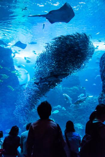 館内の水槽の中で最大規模となる「相模湾大水槽」は、その名の通り相模湾の様子を忠実に再現した展示です。造波装置によって絶えず波が打ち寄せる造りになっているため、岩礁に波が当たる音や、波の下で魚たちが泳ぐ様子をリアルに感じられます。約8千匹のマイワシの大群も見ものですよ!