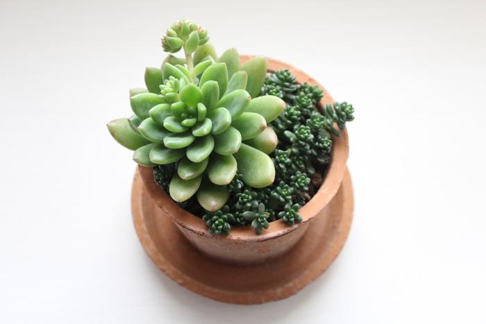 可愛い多肉植物もインテリアのアクセントにぴったり。多肉植物は初心者さんでも育てやすく、色や形などの種類も豊富です。ぜひお部屋の雰囲気に合わせて、お気に入りの植物を選んでみてはいかがでしょう?