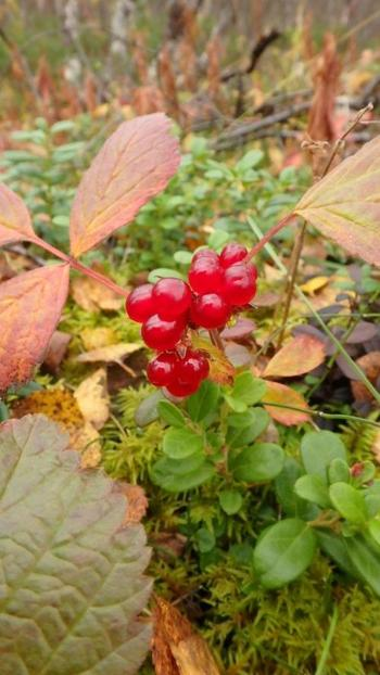 自然のベリーやキノコなどを探しながら歩くのも、北欧ならではの楽しみ。