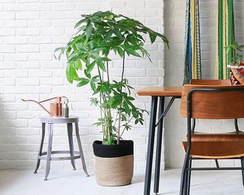 発育が良く、病虫害も少ないので、育てやすさナンバー1の『パキラ』。葉も幹もくっきりと深いグリーンをしており、部屋全体をクールに引き締めてくれます。そのルックスと育てやすさから、観葉植物では根強い人気があります。