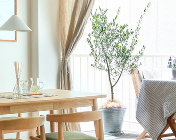 地中海が原産のオリーブは、イタリアンレストランなどでもよく見かけますね。屋外の印象が強いオリーブですが、しっかりと日光が当たる窓際であれば、観葉植物として室内でも育てやすい品種です。