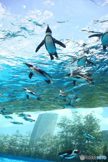7月12日にリニューアルオープンしたばかりの「サンシャイン水族館」。ペンギンが空を飛んでいるような「アクアトンネル」もでき、見応えたっぷりです。