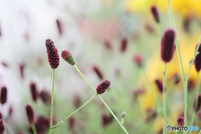 東アジアからシベリア半島にかけて分布するバラ科・ワレモコウ属の多年生草木。すっと伸びた細い茎の上に、黒みのまさった赤い穂のような花がちょこんと載った独特なフォルムは、生花/ドライフラワーどちらにも存在感を発揮してくれます。