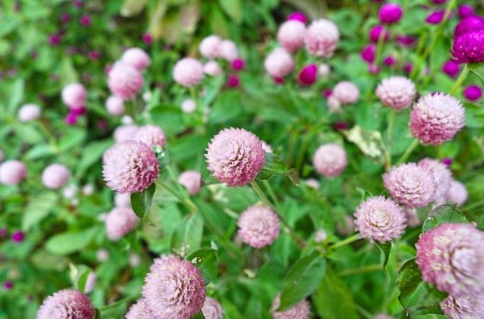 熱帯アメリカ・アメリカ南部原産。ヒユ科の春播き一年草。もとからカサカサとした感触で、乾燥に強く、色褪せもほとんどないことから、ドライフラワーに最適とされるのはご存じのとおり。ただし、色づくのは、花の付け根に付く苞葉(ほうよう)の部分です。