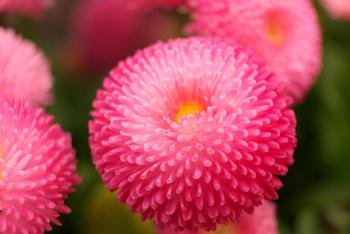 ピンポン玉にも例えられる愛らしい丸さは、和・洋どんなフラワーアレンジにもぴったり。