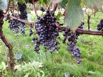 休耕地の再生によって誕生したセイズファームでは、農園のオーナー会員を募集中。会員になると、ワインのプレゼントのほか、ワイナリーの見学や、ぶどう畑での農作業体験にも参加できます。