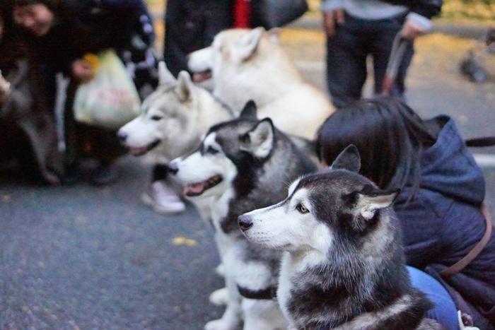 街中で犬の幼稚園の先生(?)が何頭も連れてお散歩している光景を良く見かけますが犬種も様々なのによく喧嘩せずに歩いているなと感心します。