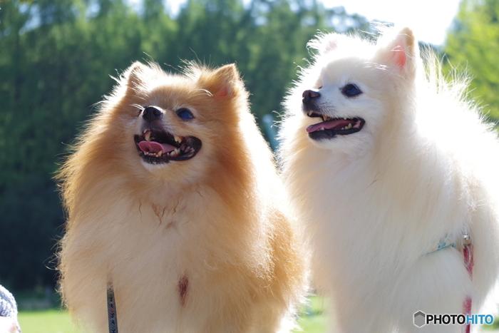 日本ではあまり見かけない施設だと思いますが、スウェーデンには【犬の幼稚園】があります。日本でもそうだと思いますが、1人暮らしで犬を飼っていたり、家族全員が学校や仕事だと、昼間は1匹でお留守番になってしまいますよね。 犬は元々集団で生活している動物ということもあり、日中に長時間家でお留守番させるのは禁止となっています。 それを補うのが犬の幼稚園。他の犬と仲良く・・というのはわかりませんが、散歩に連れて行ってくれたり遊んでくれたりするところが犬の幼稚園です。 また、幼稚園に入れなくとも学生のアルバイトに鍵を渡しておいて、散歩代行をお願いしたりということもあるようです。