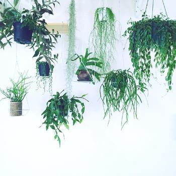 ちなみに北欧×ハンギングプランターの組み合わせでおすすめの植物が、アイビーに、グリーンネックレスです。ぜひお好みの植物をいくつか組み合わせて吊るして、素敵な空間を作ってみましょう。
