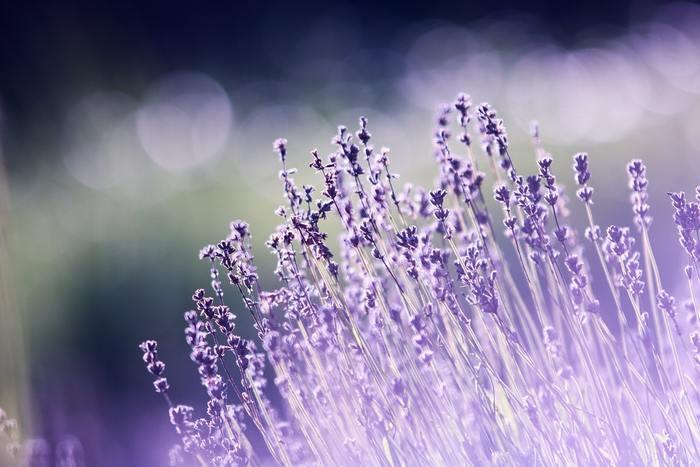 「ラベンダー」 ハーブの代表的存在・ラベンダーも寒さに強く、虫がつく心配がないので初心者さんにおすすめ。収穫後はドライフラワーやスティックにしてお部屋に飾ったり、ポプリにして香りを楽しめます。他のハーブと一緒に寄せ植えをするのも人気です。