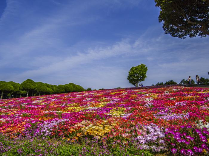 リビングストンデージーは3月下旬〜5月上旬まで見ることが出来ますよ。色とりどりの花がが咲き誇る姿は圧巻です。