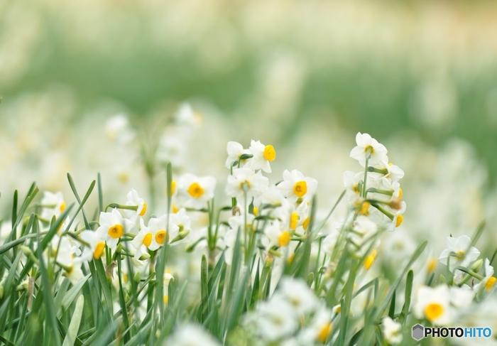 冬は、日本水仙・さざんか・椿・梅。日本水仙は1月~2月上旬まで楽しめます。花で溢れるアイランドパークですが、まだ咲いていない時期もあるので、公式のSNSで確認してからお出かしましょう。