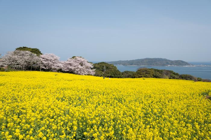 春は、菜の花・桜・リビングストンデージー・ポピー・つつじ・マリーゴールドが楽しめます。菜の花は2月下旬〜4月中旬、桜は3月末〜4月初旬まで見ることができます。海をバックに見る菜の花と桜は感動的な美しさです。