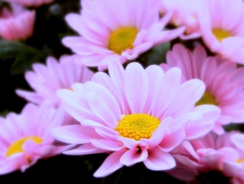 アメリカ原産。1本の茎ににぎやかに花を咲かせます。