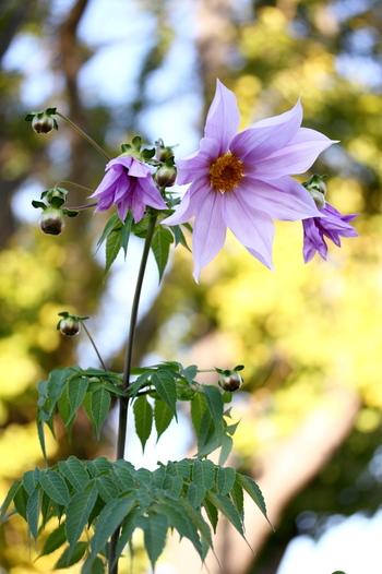高さが数メートル(10mを越えることも)に達するため、木立(キダチ)ダリアとも呼ばれます。 見上げるほどの高さに咲きながら、淡いピンクの花が、少しうつむいて優しげに語りかけてくるような雰囲気に、花言葉がぴったりきます。