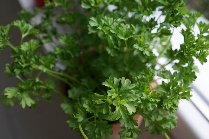 「パセリ」 お料理の彩に欠かせないパセリですが、実はビタミンやミネラルなど栄養満点!独特のツンとした香りがあり、食中毒を防ぐともいわれています。一度植えれば何度でも収穫できるので、家庭で使う程度ならばまずは少量を植えてみることをおすすめします。