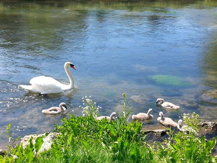 村の中心部を悠然と流れるコルン川は、バイブリーの魅力を引き立てています。コルン川は、水鳥がたくさん生息しており、時期によってはハクチョウが子育てをしている微笑ましい姿を見ることができます。