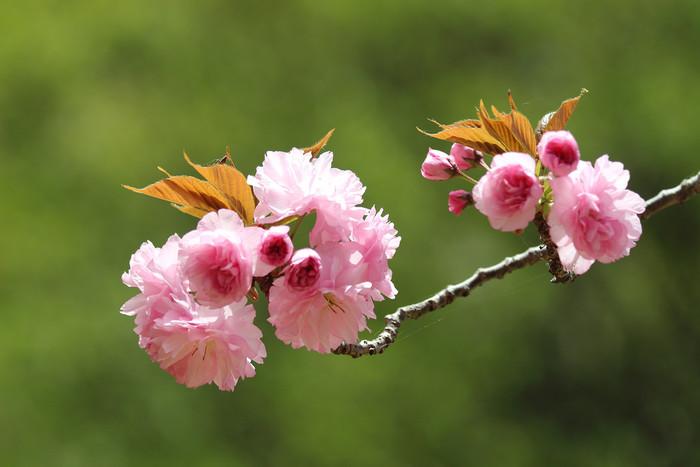 桜の塩漬けは主に、七分咲きの八重桜の花びらを軸ごと摘みとって使用します。八重桜を使う理由としては、形がしっかりしていることや色が濃く、料理を美しく見せてくれることなどが挙げられます。