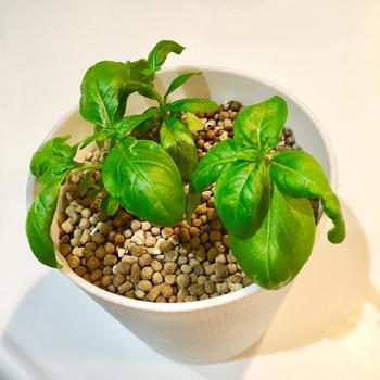 日当たりを好むバジルは、葉が焼けてしまわない程度に直射日光に当てても大丈夫。水は、土の表面が乾かないよう、たっぷりと与えて下さい。そして、バジルには肥料がたくさん必要です。生育期(6~10月)には、緩効性の固形肥料か薄めた液体の肥料を与えましょう。