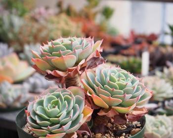 エケベリア属の「七福神」  葉牡丹のような佇まいに、美しいグラデーションが加わってどこかしら高貴な印象。寄せ植えではメインとして大活躍します。