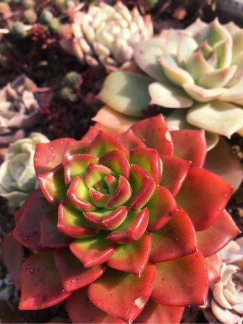 セデベリア属の「レディジア」  艶めいた葉っぱに鮮やかな赤が印象的な品種。ぽってりとしたフォルムは実りの秋を思わせます。