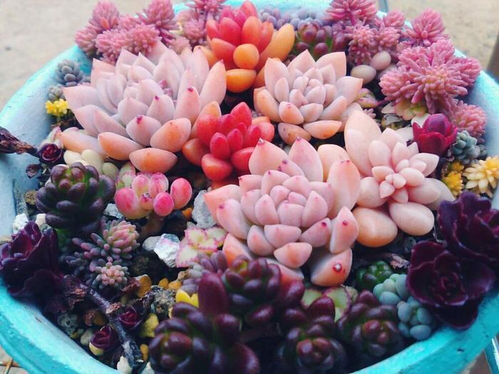 ピンクとパープルの取り合わせがおしゃれな寄せ植え。観葉植物では珍しいラブリーな色味が楽しめるのも嬉しいポイント。鉢の色との組み合わせも楽しんでみましょう。