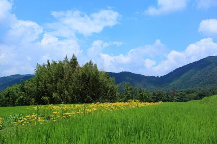 """女郎花(オミナエシ)は、""""粟花(あわばな)""""の別名を持つように、粟のように細かな黄色い花をつける多年草です。沖縄を除く、列島各地に自生していましたが、手入れの届いた日当たり良い草地を好むため、里山の減少に伴って自生地は大幅に減少しています。  女郎花(オミナエシ)の一般的な開花時期は、7月から10月。秋の七草の一つですが、宕陰の女郎花は、7月から8月が見頃で、収穫された女郎花は、近郊都市の盆花、切り花として出荷されます。【稲田の青と女郎花畑の黄色が目に鮮やかな8月上旬の越畑】"""