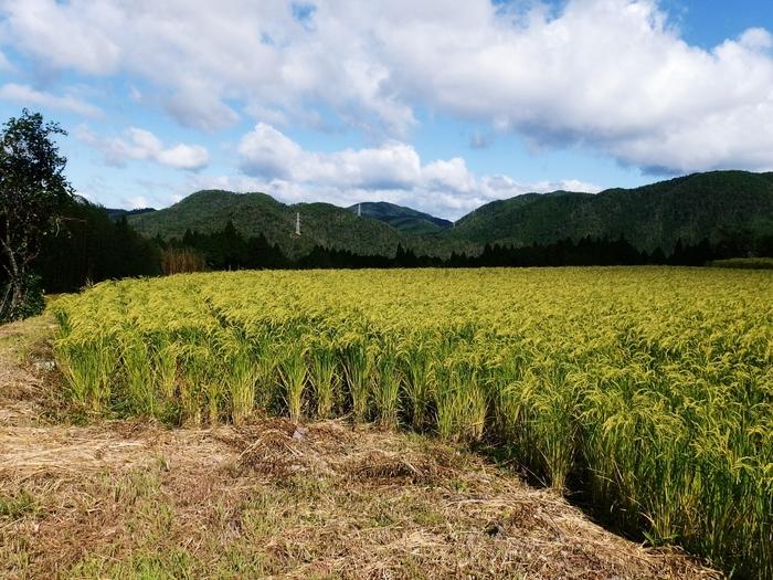 【約800枚にも及び平安初期に開かれた越畑の棚田。(画像は、9月中旬の越畑)】