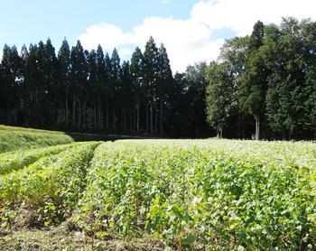 以下で紹介する「越畑フレンドパークまつばら」の周囲には、蕎麦畑も広がっています。9月初旬から中旬頃には秋そばの白い花が一面を覆います。【画像は9月中旬の蕎麦畑】
