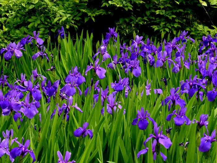 毎年、美術館の敷地内に広がる庭園に燕子花が咲く頃、国宝に指定されている尾形光琳の「燕子花図屏風」を展示します。  茶人としても名を馳せていた根津嘉一郎も、燕子花が咲く頃に茶会を開き、招いた方たちへ燕子花図屏風を披露していたとか。なんとも風流ですね。  和モダンの建築物と趣のある庭園の中で鑑賞する充実のコレクション。粋と風雅を併せ持つ、珠玉の美術館です。