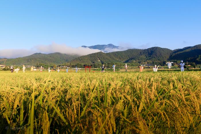 【9月下旬の北嵯峨地区の案山子が並ぶ酒米栽培の稲田。】