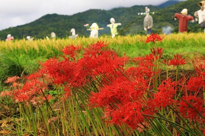 【広沢池の西側の稲田は、『祝』という品種の酒造好適米の栽培圃場。ユニークで様々な衣裳を纏った案山子が並ぶことで有名です。案山子は伏見の酒造メーカー「齋藤酒造」が、毎年時期になると30体ほど立てています。】