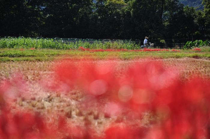 【鮮やかな彼岸花咲く、稲の刈取りが終わった稲田と畑。】