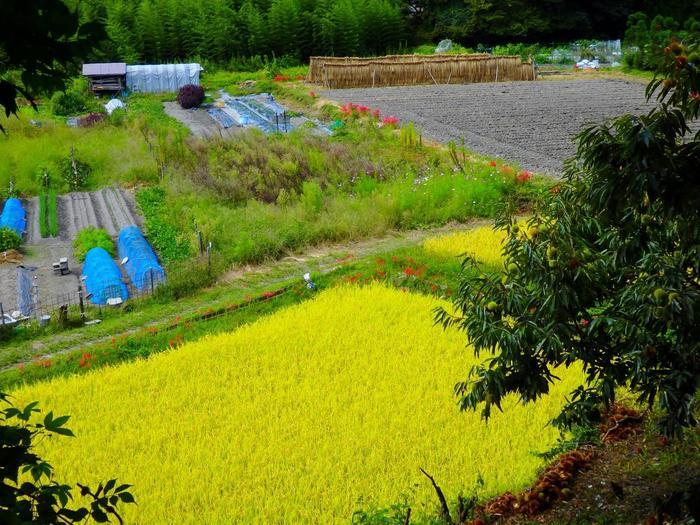 【竹林、稲架掛け、野菜畑、彼岸花咲く畦に囲まれた稲田、栗の木。里山ならではの眺め。(画像は、9月下旬頃の景色)】