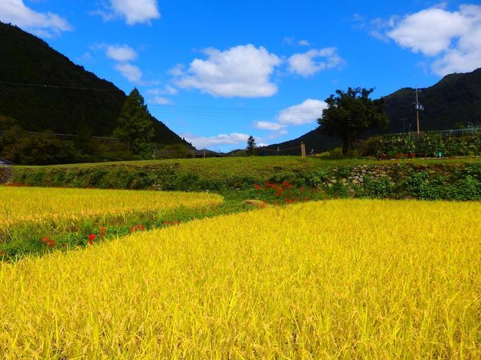 【大原の黄金色の稲田と彼岸花】