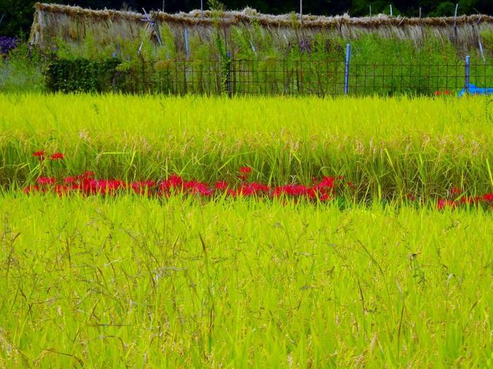 【彼岸花咲く9月中旬の「大原」の稲田】