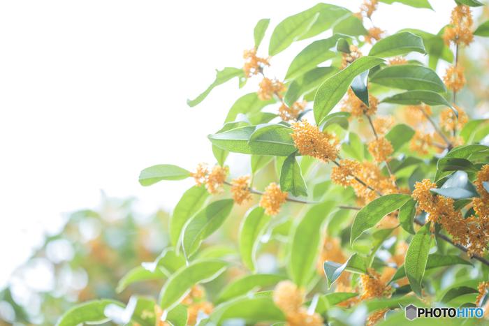毎年9月下旬から10月頃の開花時期になると、庭先や公園で見かける「キンモクセイ」。小さくて可愛らしいオレンジ色の花は、ちょっとオリエンタルな甘い香りが漂ってきて・・・。キンモクセイの甘い香りって、不思議と心惹かれますよね*  風が吹けばあっという間に花が散ってしまう儚さも、特徴。その様子に由来して、花言葉「謙虚」です(その他、「初恋」「真実の愛」「高貴」という花言葉も)  また、キンモクセイが咲く頃は「夏が終わる」「秋の訪れ」といった、季節間の移り変わりも感じられますよね。この時期に特別な思い出がある方にはセンチメンタルな気持ちを呼び起こす・・・特別な香りでもあります。