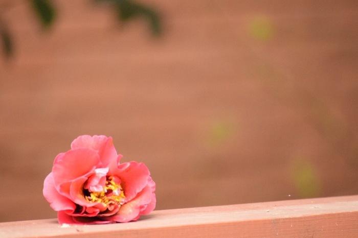 たとえば日本では、枯れたら花ごと落ちる椿、花弁が散ってしまうケシは贈り物には向かないとされています。
