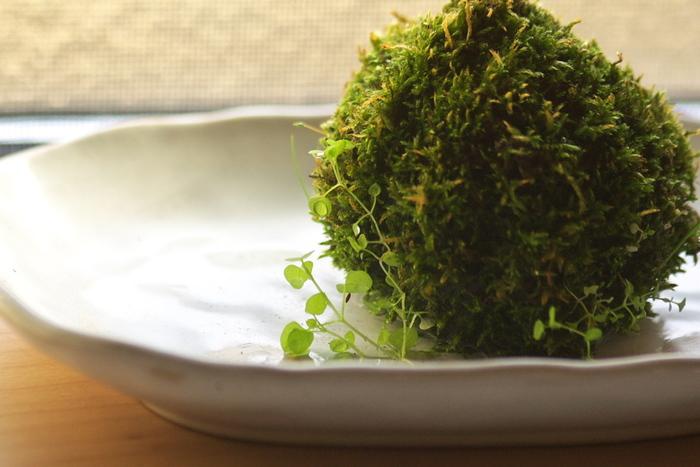 涼し気でお洒落な「苔玉」。  白い器に飾ると、より涼しさを感じられます。