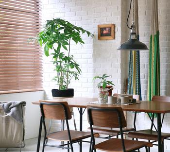 初心者でも比較的育てやすい観葉植物といえば「パキラ」。お部屋の中でも元気にスクスク育ってくれます。