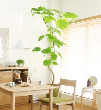 天井まで届く大きさのグリーンは、圧迫感を少なくするために細身フォルムを選ぶのがおススメ。ハート形の葉っぱと動きのある枝が特徴の「フィカス・ウンベラータ」も人気です。