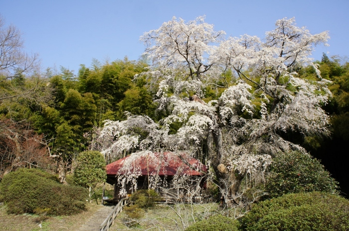 樹齢約170年の色鮮やかな紅枝垂桜「忠七桜」。会津戊辰戦争の犠牲者をしのぶ桜として伝えられています。 駐車場が整備された一般の民家の庭にあり、近くに用意された観桜台からの長めが格別。