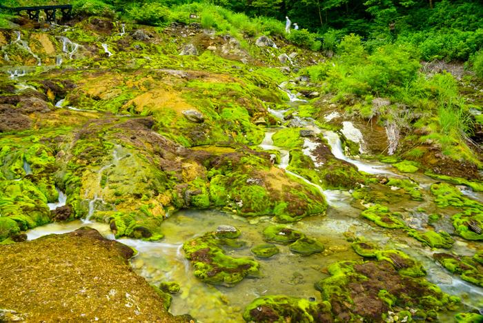 この辺りには強酸性の温泉が豊富に流れています。そこに自生する苔は世界的に見てもとても珍しく、チャツボミゴケ公園は国内最大規模の群生地なんです。