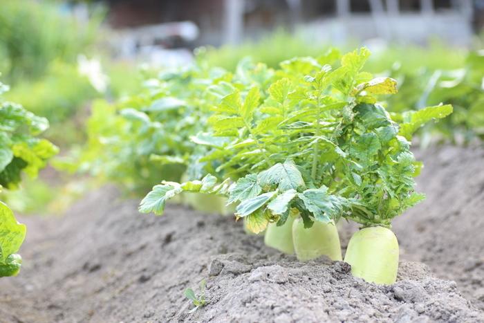 まずは大根の栄養をおさらい! 大根は、でんぷんやタンパク質、脂肪の分解を助け、胃腸の働きをサポートします。葉の部分は緑黄色野菜に分類され、本当に栄養が満点♪ また、ビタミンCは、内側より皮に近い部分に多いので、余すところなくいただきましょう。