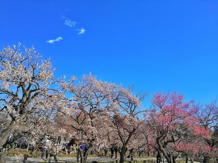 この写真で、どれだけの梅の花が咲いているか分かりますね。お弁当を持ってきて、梅の花を眺めながら食べるのが気持ち良さそうです。